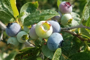 Southwest Michigan fruit update – June 23, 2020