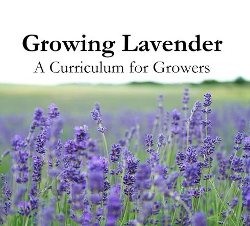Growing Lavender promo picture
