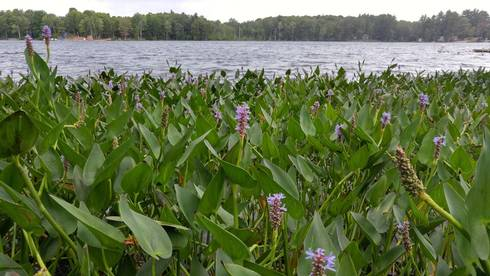 Michigan native and natural wave buffer, Pickerelweed is well adapted for shorelines. It combines beauty and function also providing shoreline protection, and food and shelter for wildlife. Photo credit: Beth Clawson, MSU