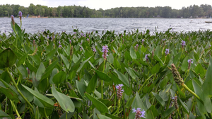 Making your native plant choices for Michigan inland lake shorelines