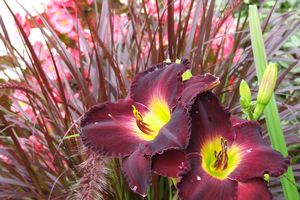 Summer care of daylilies, like this Midnight Raider, will keep them strong this season and next. Photo by Rebecca Finneran | Michigan State University Extension