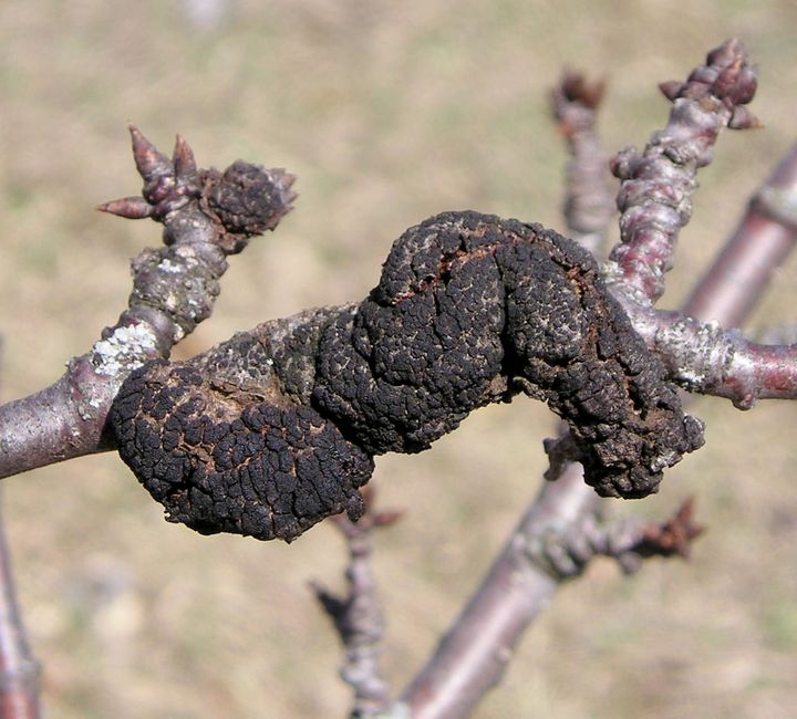 Black knot causes a distinctive black swelling on the branches of susceptible trees in the genus Prunus, mainly plums and cherries. All photos by Mark Longstroth, MSU Extension.