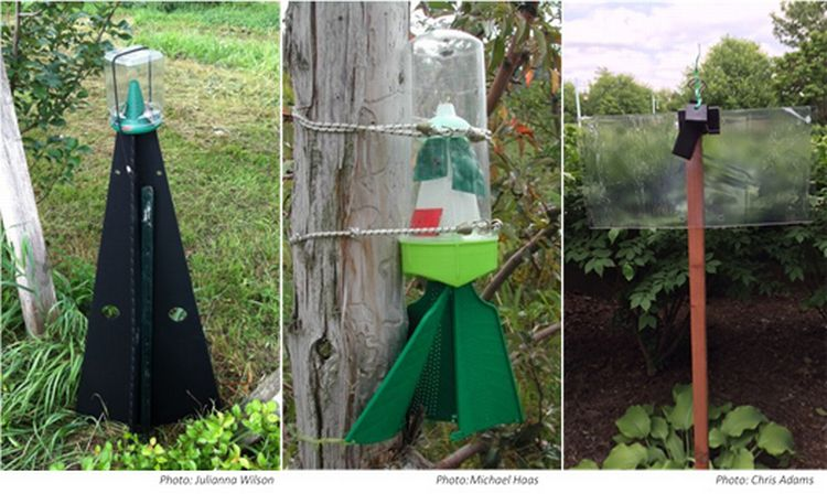 Examples of traps used to monitor for BMSB: pyramid style (left), Rescue® brand (middle), and a clear sticky panel (right). All of the traps need to be baited with a lure. The fins of the Rescue® trap must touch the trunk or trellis post to which it is attached for the nymphs to be able to crawl up into it.