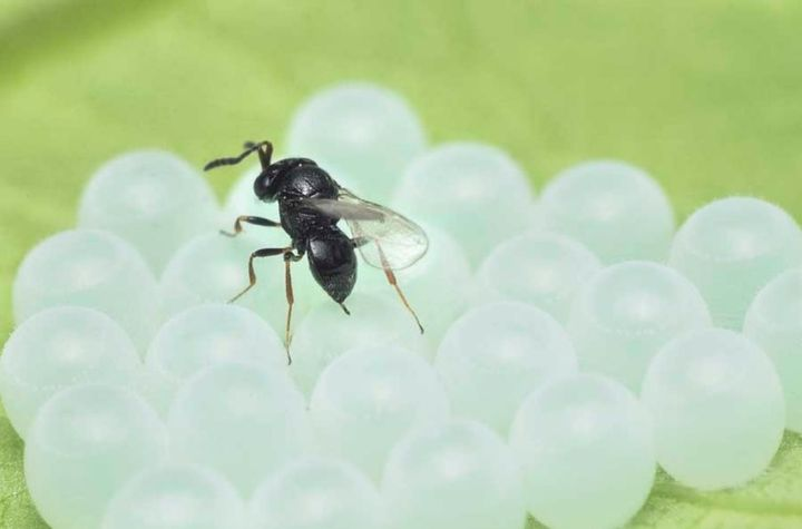 samurai wasp on stink bug eggs
