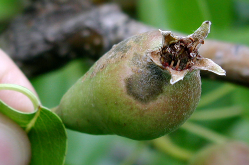 Fruit lesions are similar to those on leaves and appear a month after fruit set.