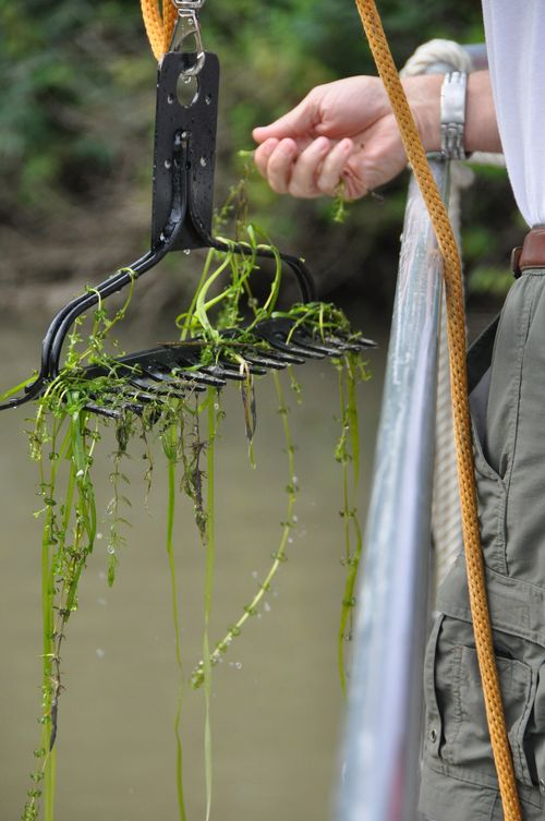 Hydrilla pull out of the water on a rake. | U.S. Army Corps of Engineers