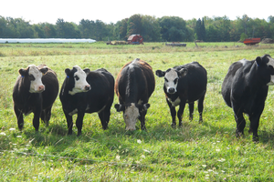 Black cows with white heads in green pasture