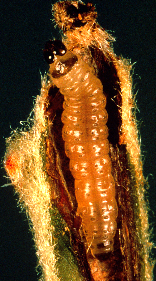 Larva is dirty white to pinkish with a reddish-brown head and an anal comb.
