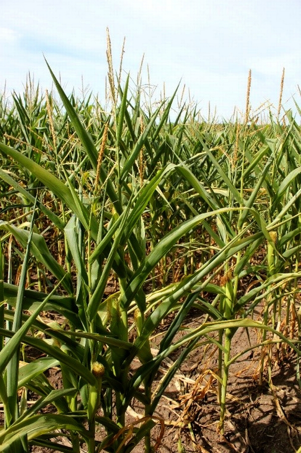 Early morning picture of corn that failed to recover from drought stress overnight in northern Cass County. Photo: Bruce MacKellar, MSU Extension.
