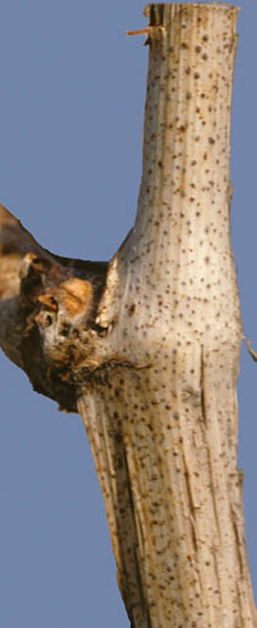 Fruiting bodies develop in bleached area on cane stub.