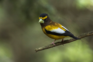 Evening grosbeaks arrive across the Great Lakes