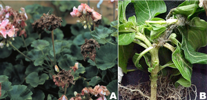 Recommendations for Botrytis fungicides for 2020