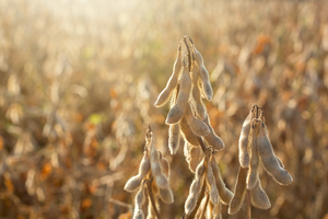 Controlling soybean disease with lab, field tools