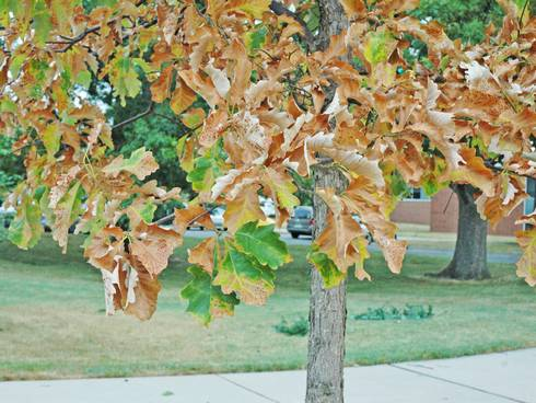 Leaf scorch is a common symptom of drought stress.
