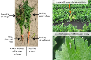 Aster leafhoppers in carrots and celery: To spray or not to spray?