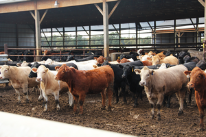 A group of beef cattle standing in a feedlot