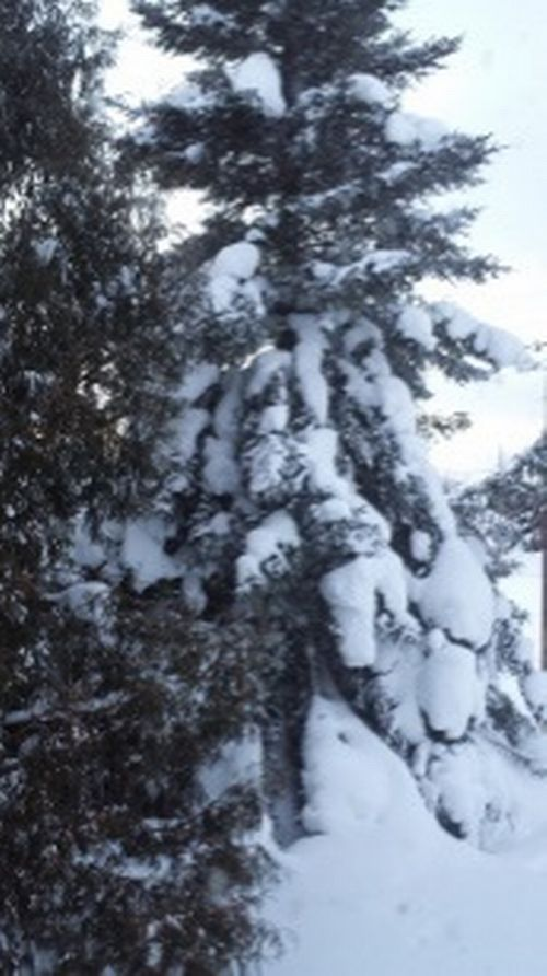 Heavily snow-laden spruce tree Credit: Mike Schira