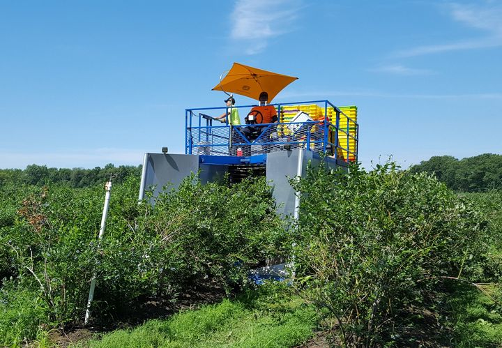 Mechanical harvest of 'Bluecrop' blueberries. Blueberry harvest is moving quickly.