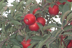 Predicted 2020 apple harvest dates for southwest Michigan