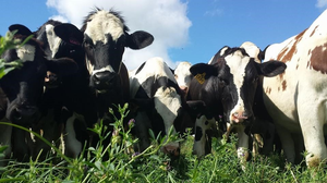 A group of Dairy Cows standing, staring at the camera