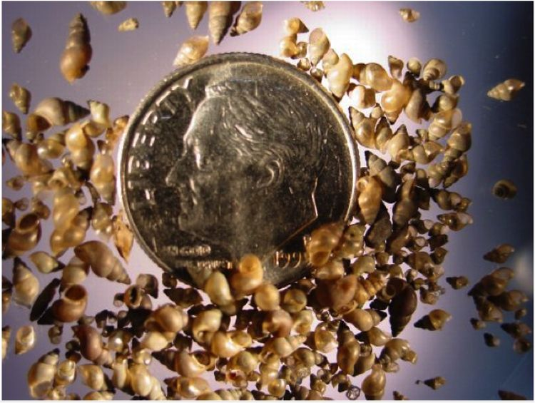 Adult New Zealand mudsnails are extremely small, averaging less than 1/8 of an inch long. Photo Credit: USGS