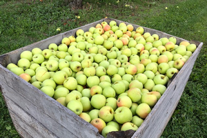 East Michigan apple maturity report – Sept. 30, 2020