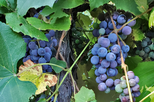 Michigan grape scouting report – Sept. 9, 2020