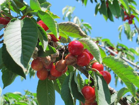 American brown rot infection on ripening sweet cherries