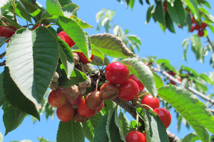American brown rot has developed strong resistance to Indar in parts of Michigan