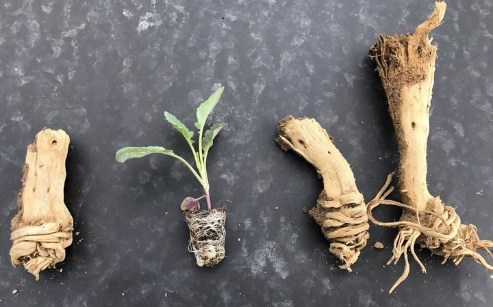 These old cole crop root crowns were root bound when they were transplanted last year. You can see how this condition can originate in the fresh cole crop plug if they are held too long in the cramped cells. Photo by Mike Yancho, Jr.
