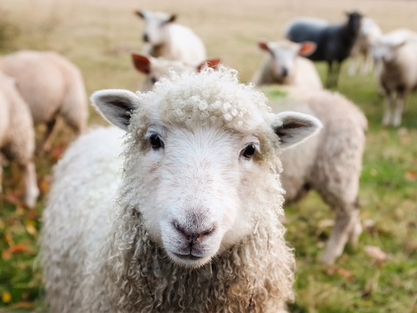 White muscle disease in sheep and goats - Sheep & Goats