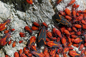 Boxelder bug adults and nymphs. Photo credit: William M. Ciesla, Forest Health Management International, Bugwood.org