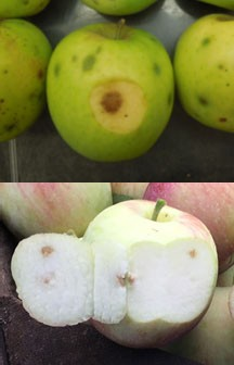 Apple maggot stings (above, Harvey Reissig, Cornell Univ.) and stink bug feeding (below, Phil Schwallier, MSU Extension) can be mistaken for bitter pit.