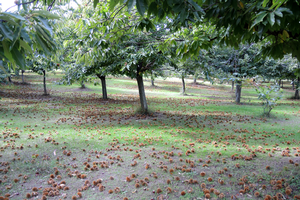 Chestnut harvest in Michigan. Photo by Erin Lizotte, MSU Extension.
