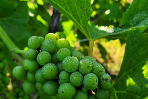Southwest Michigan fruit update – July 14, 2020