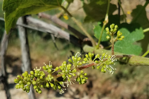 Michigan grape scouting report – June 10, 2020