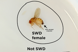 Michigan spotted wing Drosophila update – June 26, 2019