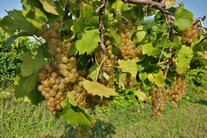 Michigan grape scouting report – Sept. 23, 2020