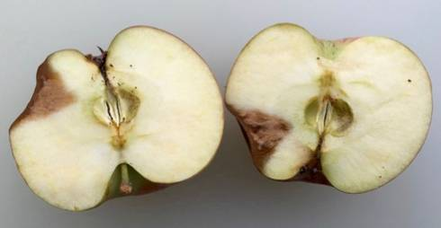 apple bitter rot