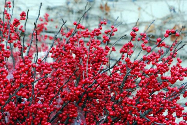 Michigan holly in winter. Photo credit: Deborah Silver, Detroit Garden Works