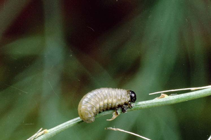 Asparagus beetle larvae look similar to caterpillars, just with only three legs. They may emit green liquid when disturbed. Photo by Clemson University - USDA Cooperative Extension Slide Series, Bugwood.org.