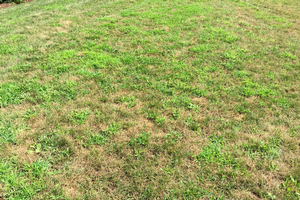 Crabgrass control during a hot summer