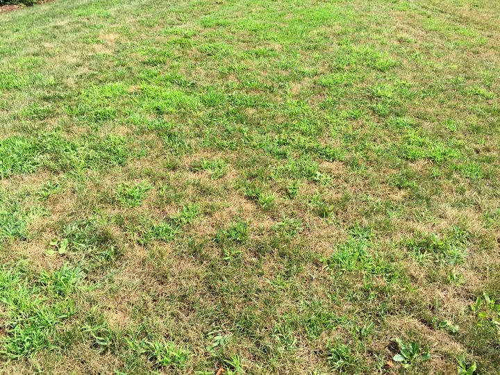 Crabgrass emerging in drought-stressed turf.