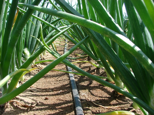 Drip irrigation uses water efficiently in fruit and vegetable crop applications.