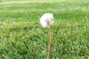 Dandelion standing tall in turfgrass. Photo credit: Kevin Frank, MSU