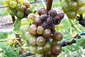 Critical practices to control late season grape diseases and the potential effects of fungicides on fermentation