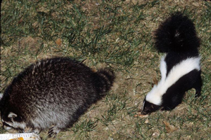 Raccoon and skunk looking for a midnight meal. Photo by Alfred Viola, Northeastern University, Bugwood.org