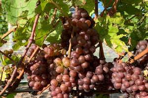 MSU vineyard IPM scouting report – Oct. 9, 2019