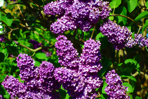 Lilac: An old-fashioned, favorite shrub