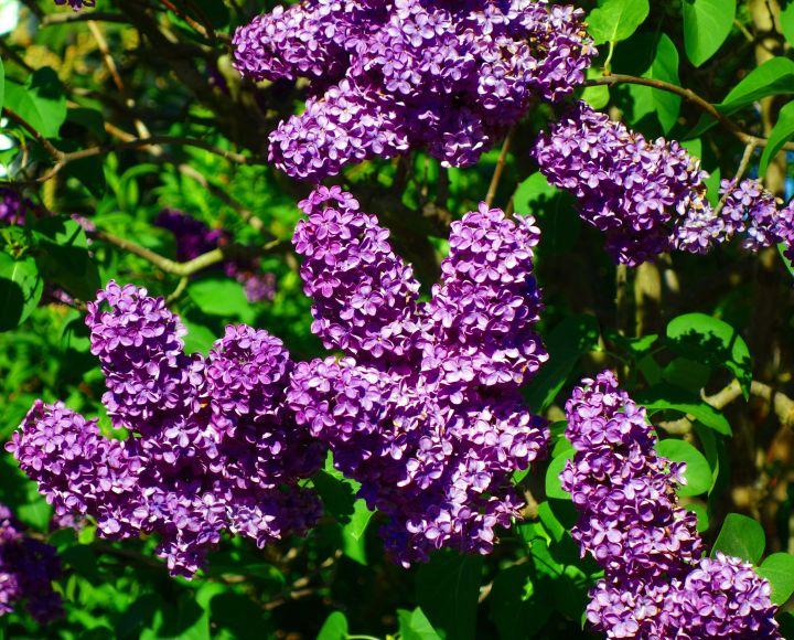 Lilac An Old Fashioned Favorite Shrub Msu Extension